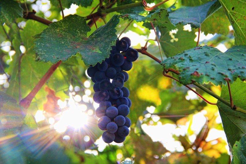 Grappolo uva nera